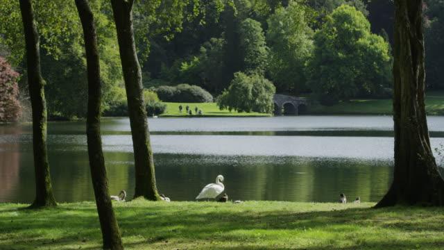 medium shot of duck and swans near tranquil lake / stourhead, england, united kingdom - gruppo medio di animali video stock e b–roll
