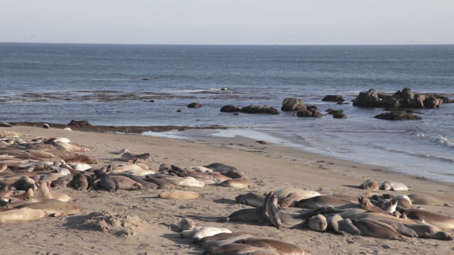 medium shot of elephant seals laying on the beach at point piedras blancas - seals stock videos and b-roll footage