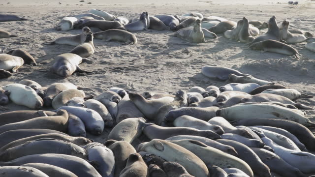 medium shot of elephant seals on the beach at point piedras blancas - elephant seal stock videos & royalty-free footage