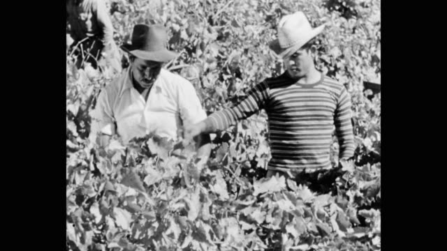 vídeos de stock e filmes b-roll de medium shot of farm workers harvesting grapes from vineyard - vinha