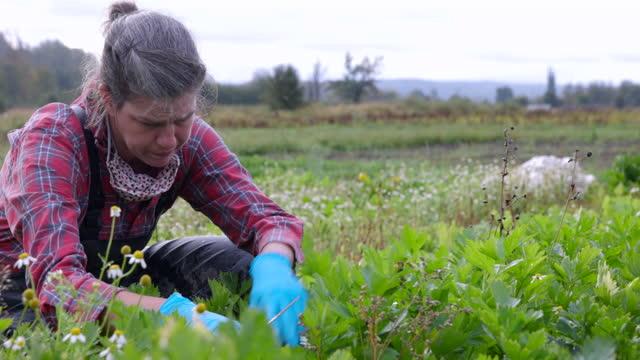 medium shot of female farmer harvesting organic celery in field on fall morning - organic farm stock videos & royalty-free footage