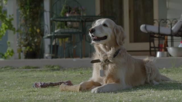 medium shot of golden retriever lying on grass. - one animal stock videos & royalty-free footage