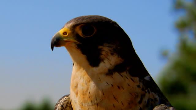Medium shot  of hawk looking around
