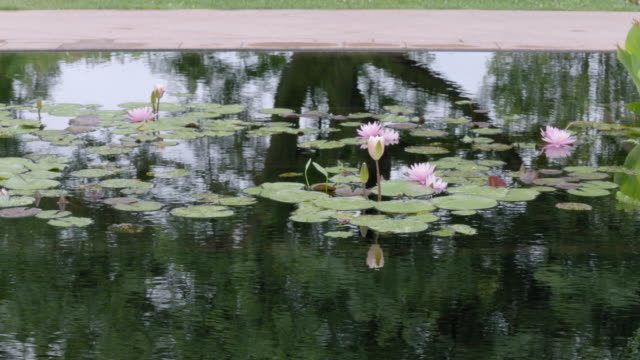 medium shot of lotus flowers growing in water - lily stock videos & royalty-free footage