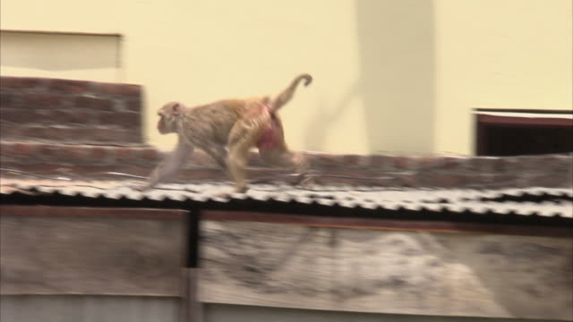 medium shot of macaque monkey climbing across dilapidated buildings in india - macaque stock videos and b-roll footage