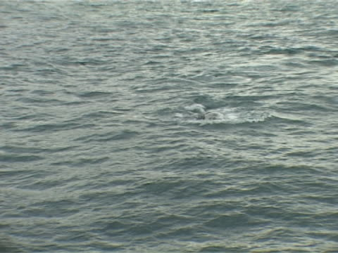 Medium shot of Minke Whale lunging, blows zoom to mid close up as it goes below the surface.