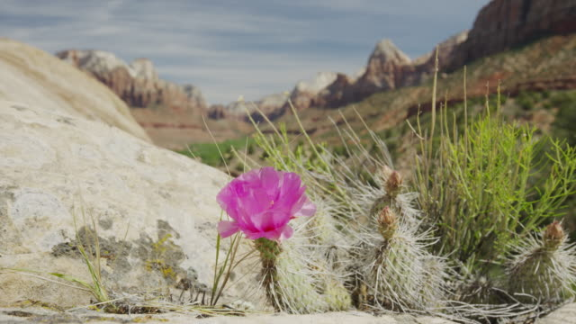 medium shot of purple flower in windy desert / zion national park, utah, united states - zion national park stock videos & royalty-free footage