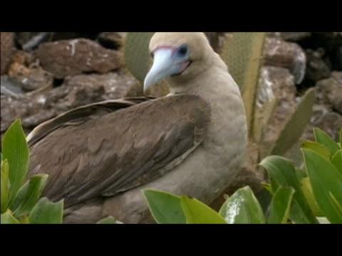 vídeos y material grabado en eventos de stock de medium shot of red-footed booby (sula sula) looking around / genovesa island, galapagos islands - alcatraz patirrojo