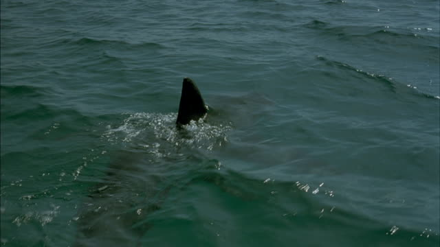 medium shot of shark swimming through water. - rückenflosse stock-videos und b-roll-filmmaterial