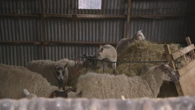 vídeos de stock, filmes e b-roll de medium shot of sheep, including lambs, eating hay in a corrugated iron barn, uk. - grupo médio de animais