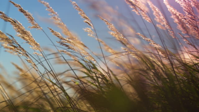 vídeos de stock, filmes e b-roll de medium shot of tall grass blowing in the wind - vento