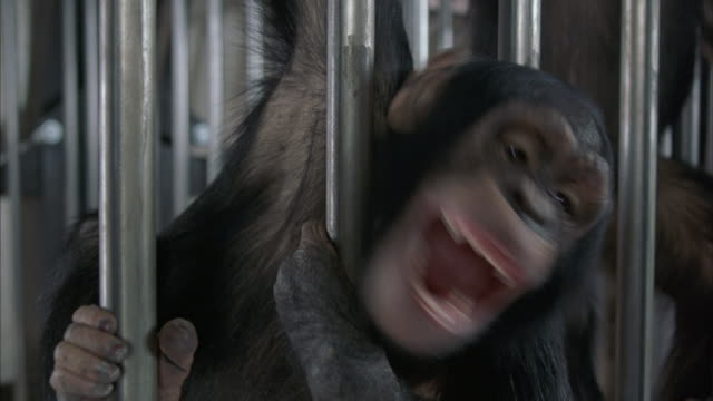 a medium shot of two chimps swinging around in a cage. - chimpanzee stock videos & royalty-free footage