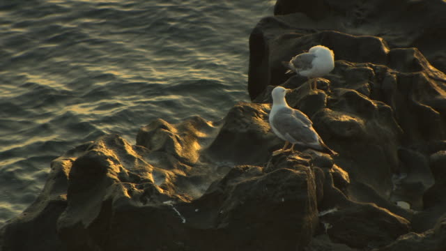 Medium shot of two seagulls preening themselves on weathered rock during a golden sunrise by the Tyrrhenian Sea, Italy.