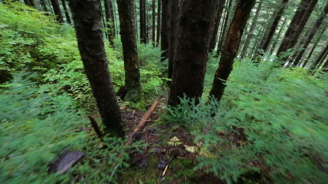 medium shot of walking in a hillside pine forest - pinaceae stock videos & royalty-free footage