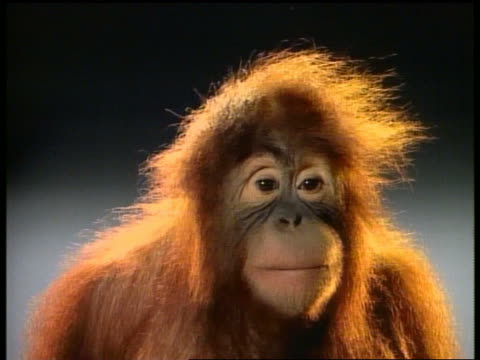 medium shot orangutan gesturing and making faces/ yawning/ shaking head no/ sticking tongue out/ covering eyes - shaking stock-videos und b-roll-filmmaterial