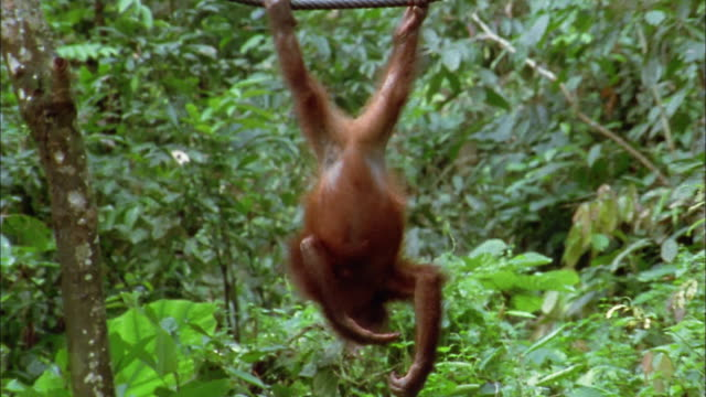 Medium shot orangutan hanging upside down from tree and scratching its arms / North Borneo