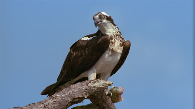 medium shot osprey perched on high branch looking down and around / florida everglades - osprey stock videos & royalty-free footage