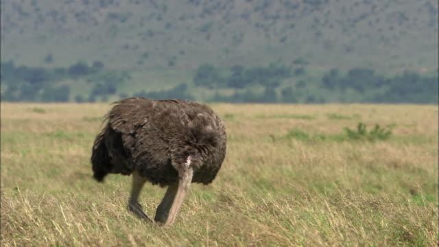 vídeos y material grabado en eventos de stock de medium shot ostrich walking / masai mara, kenya - cuello de animal