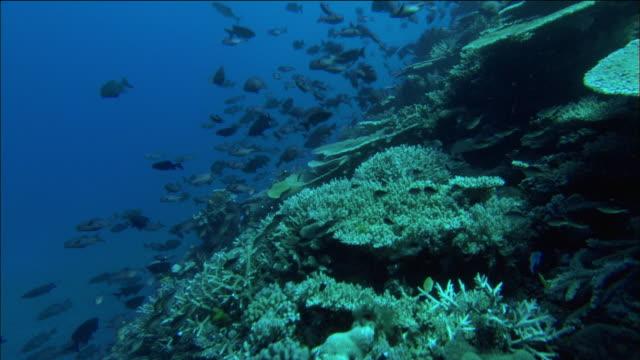 Medium shot over coral and schools of fish / Coral Sea / Australia