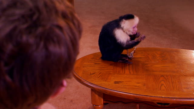 medium shot, over the shoulder of a monkey sitting on a coffee table