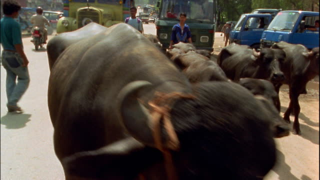 medium shot oxen being herded on street / trucks in background / nepal - valla djur bildbanksvideor och videomaterial från bakom kulisserna