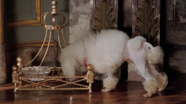 medium shot pampered toy poodle eating out of crystal dog food bowl on gold stand - pampering stock videos & royalty-free footage