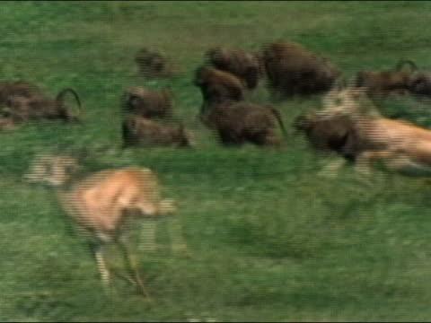 stockvideo's en b-roll-footage met 1984 medium shot pan baboons and antelope stampeding in serengeti national park / audio / tanzania, africa - op hol slaan