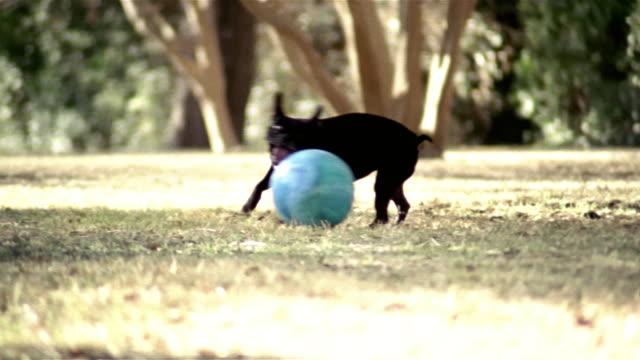 vídeos y material grabado en eventos de stock de medium shot pan boston terrier chasing ball in park/ woman kicking ball/ dog chasing ball toward camera/ dallas, texas - terrier