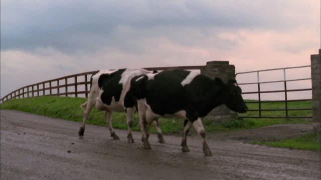 medium shot pan cows walking along rural road / ireland - 2002 stock videos & royalty-free footage