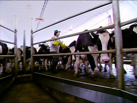 medium shot pan dairy farm worker ushering cows into milking machines / vermont - trucker cap stock videos & royalty-free footage