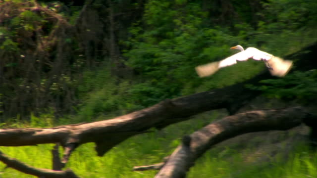 medium shot pan egret flying past other egrets on riverbank/ egret taking off and flying/  the amazon, brazil - rainforest stock videos & royalty-free footage