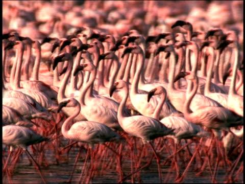 medium shot pan flock of flamingos walking at lake nakuru / kenya - flamingo stock-videos und b-roll-filmmaterial