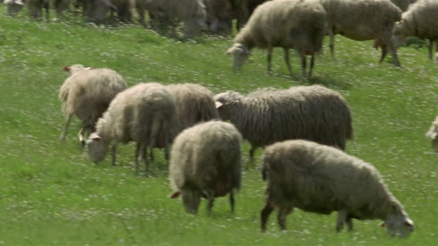 medium shot pan flock of sheep grazing on hillside / sheep running away from others / tuscany, italy - erbivoro video stock e b–roll