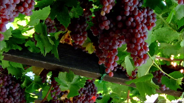 medium shot pan large bunches of red grapes hanging on vine at long vineyards/ napa valley, california - red grape stock videos & royalty-free footage