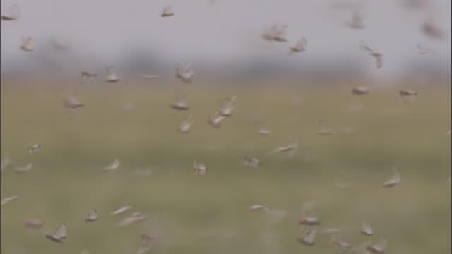 vídeos de stock e filmes b-roll de medium shot pan left - locusts flying, mans torso visible in shot / australia - grupo mediano de animales