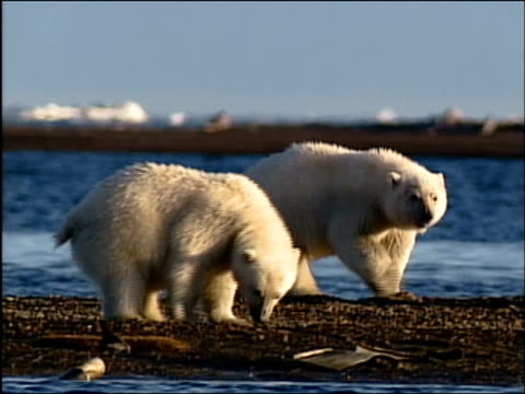 vídeos de stock e filmes b-roll de medium shot pan polar bear cubs sniffing around beach / alaska - refúgio nacional do ártico