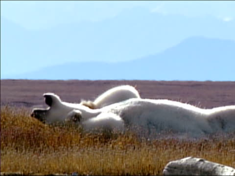 Medium shot pan polar bear lying in grass / rolling over on its back / Alaska