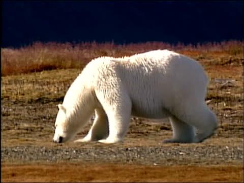 vídeos de stock e filmes b-roll de medium shot pan polar bear sniffing along the ground / alaska - refúgio nacional do ártico