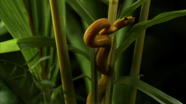 Medium Shot Pan Right Slow Motion - Yellow eyelash viper coiled around green plant stalks looking for prey / Costa Rica
