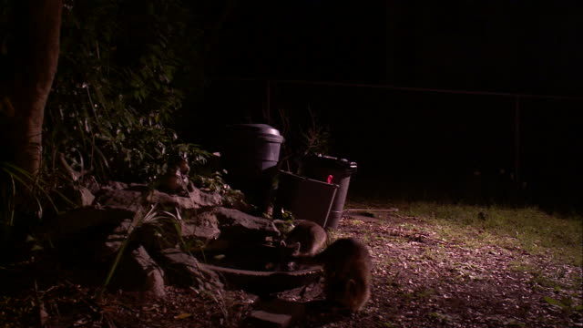 Medium Shot Pan Right - Two raccoons scavenging near trash cans /