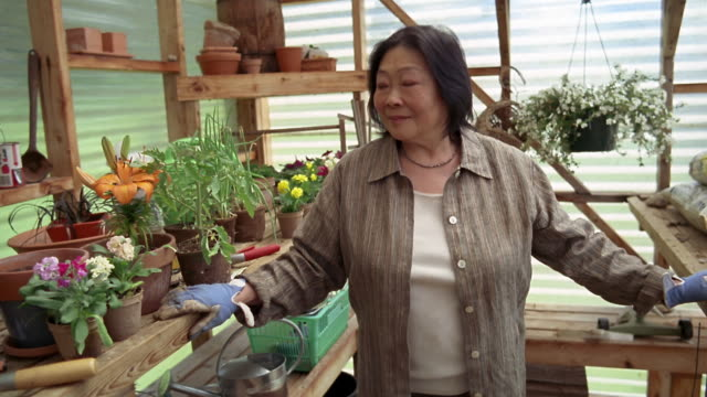 medium shot pan senior asian woman gardening in greenhouse / des moines, king county, washington, usa - オニユリ点の映像素材/bロール