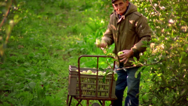 vidéos et rushes de medium shot pan senior man picking apples and putting them in crate in orchard / waves to camera / provence - saluer de la main
