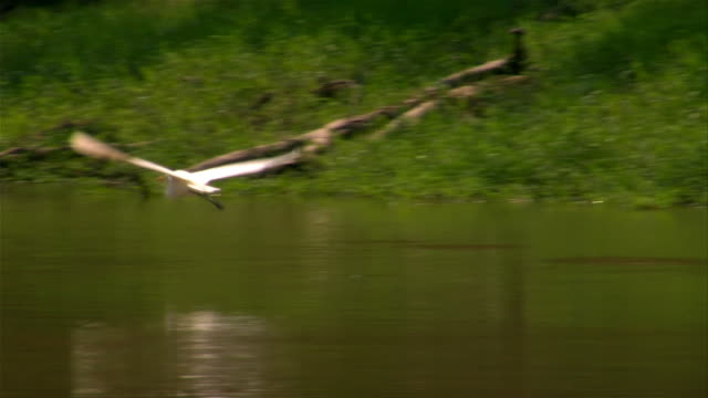 medium shot pan two white egrets flying over river/ the amazon, brazil - amazonas state brazil stock videos and b-roll footage
