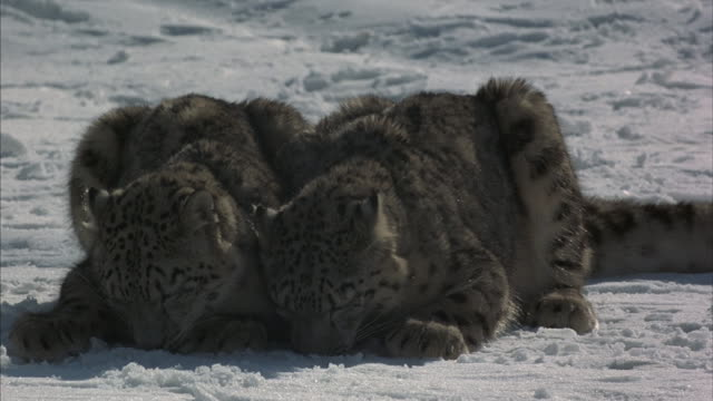medium shot panning a pair of snow leopards eating leftovers on the snow  before getting up and walking away. - leftovers stock videos & royalty-free footage