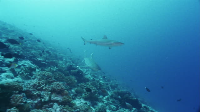 medium shot panning silvertip reef shark (carcharhinus albimarginatus) and grey reef shark (carcharhinus amblyrhynchos) swim above other fishes at a coral reef - grey reef shark stock videos & royalty-free footage