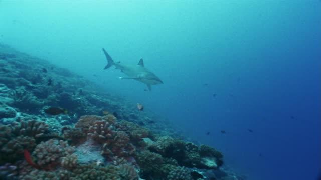 medium shot panning silvertip reef shark (carcharhinus albimarginatus) swimming along a coral reef past smaller fish including pyramid butterflyfish (hemitaurichthys polylepis) - hemitaurichthys polylepis stock videos and b-roll footage