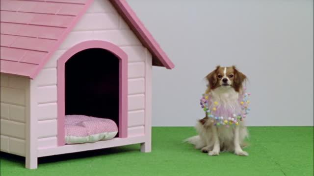 medium shot papillon in collar with pom-poms sitting next to pink dog house/ dog walking away/ california - käfig stock-videos und b-roll-filmmaterial