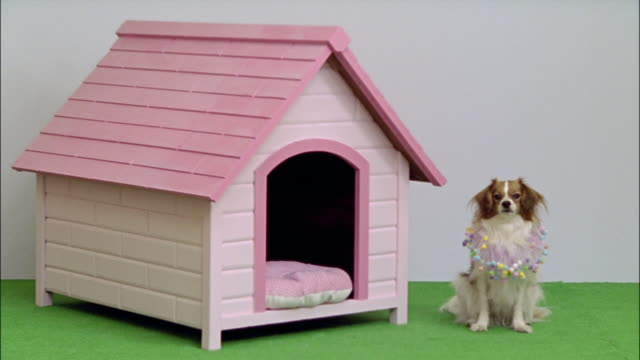 medium shot papillon in collar with pom-poms sitting next to pink dog house/ dog walking away/ california - pampered pets stock videos and b-roll footage