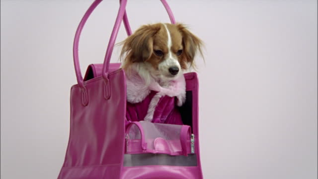 Medium shot Papillon wearing pink coat and sittting in pink handbag/ California