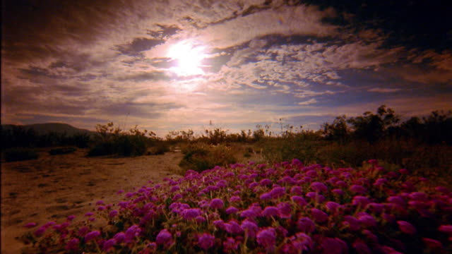 medium shot point of view over wildflowers in desert at with clouds formations in sky / joshua tree national park - joshua tree national park stock videos & royalty-free footage